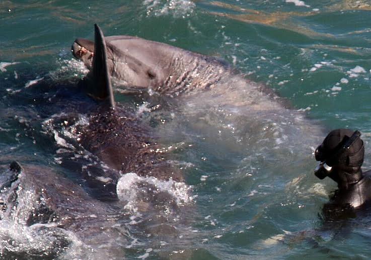 Golfinhos em cativeiro, imagem de golfinho sendo sendo capturado em Taiji