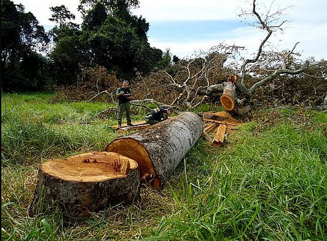 Agronegócio e meio ambiente, imagem de árvore derrubada na amazônia