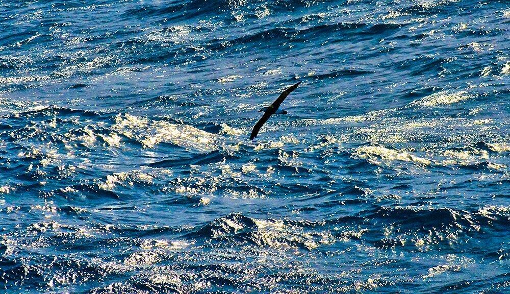 perigos dos agrotóxicos, imagem de um petrel em vôo