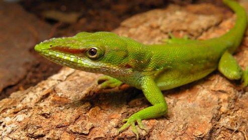 lagarto-exótico, imagem de lagarto exótico cubano ac hado na baixada santista