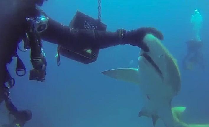 Tubarão ferido, imagem de mergulhador segurando a cabeça de um tubarão
