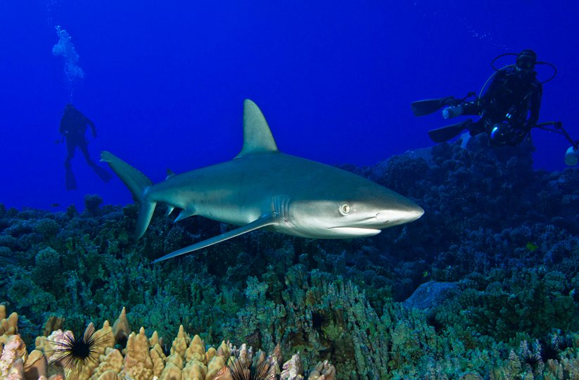 Parque Marinho Motu Motiro Hiva, foto de mergulhadores com tubarão
