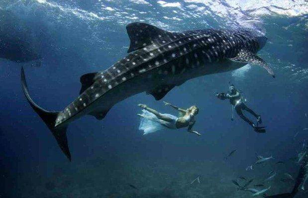 , imagem de mergulhadores com tubarão- baleia ilustra Tubarões valem mais vivos que mortos