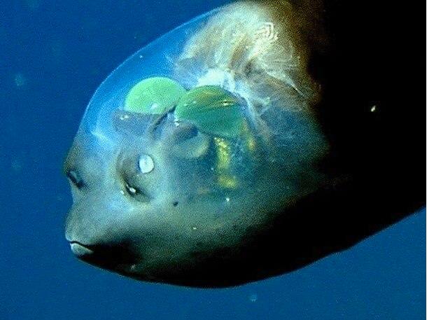 Dez fatos misteriosos do fundo do mar, imagem do Macropinna Microstoma (peixe-fantasma)