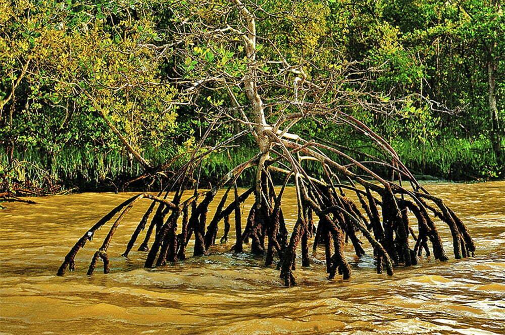 imagem de razíes de manguezal