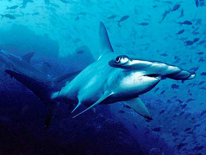 Tubarão martelo Carolina, imagem de Tubarão martelo Carolina