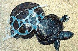 imagem de tartaruga marinha deformada por lixo plástico