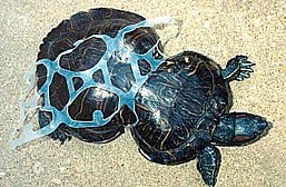 Ilha Henderson- Pacífico, imagem de tartaruga marinha deformada por plástico