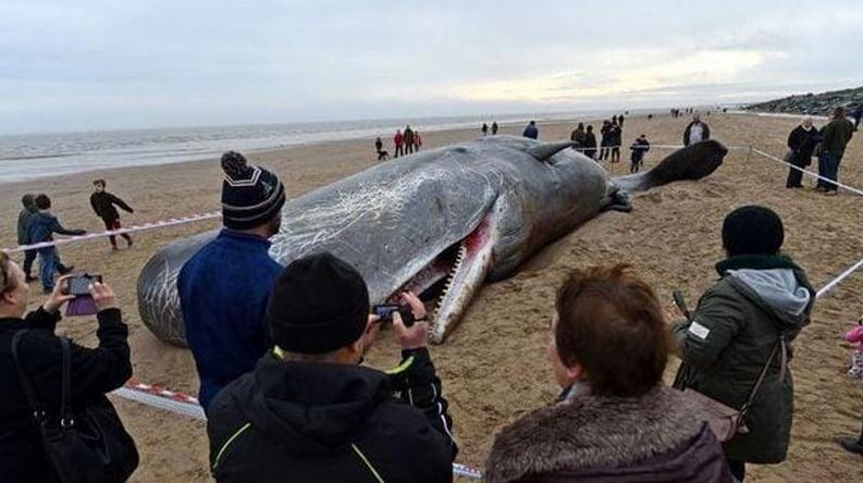 Estômago de cachalotes, imagem de cachalote morto na praia