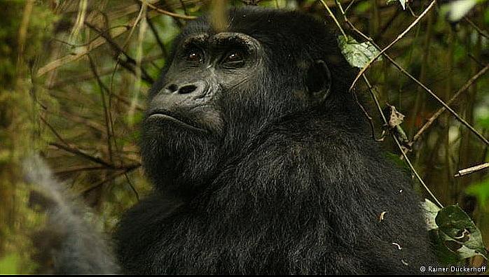 Aquecimento global ameaça Patrimônios Nacionais, imagem de gorila