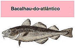 bacalhau, ilustração do bacalhau do atlântico
