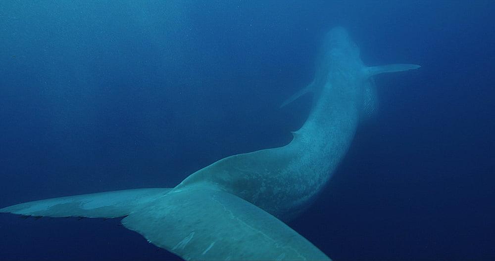 Baleias maiores animais do planeta, imagem de baleia