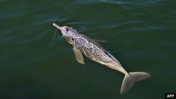 imagem do boto do rio araguaia nova espécie de mamífero descoberto na amazônia