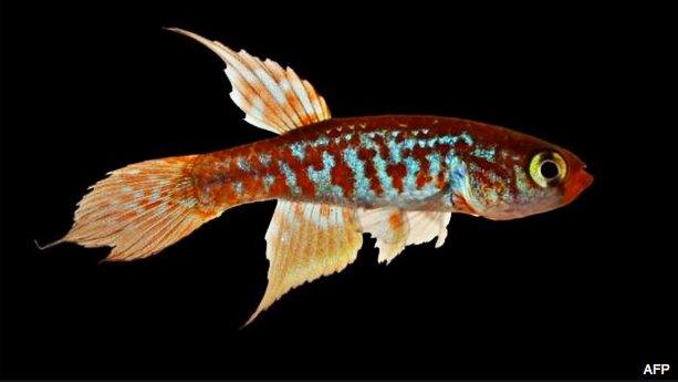 imagem peixe parte das novas espécies da Amazônia