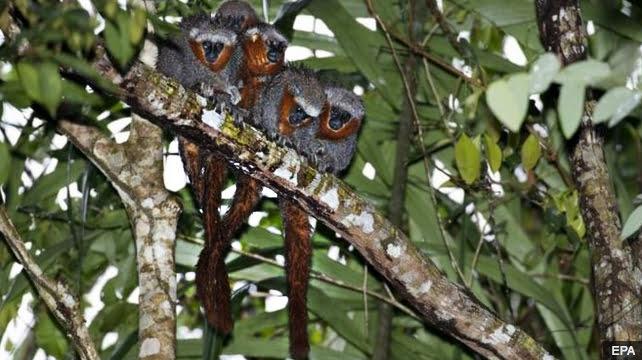 imagem de zogue zogue rabo de fogo parte das novas espécies da Amazônia