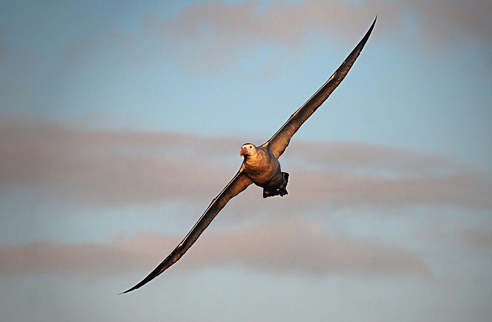 imagem de albatroz errando em voo