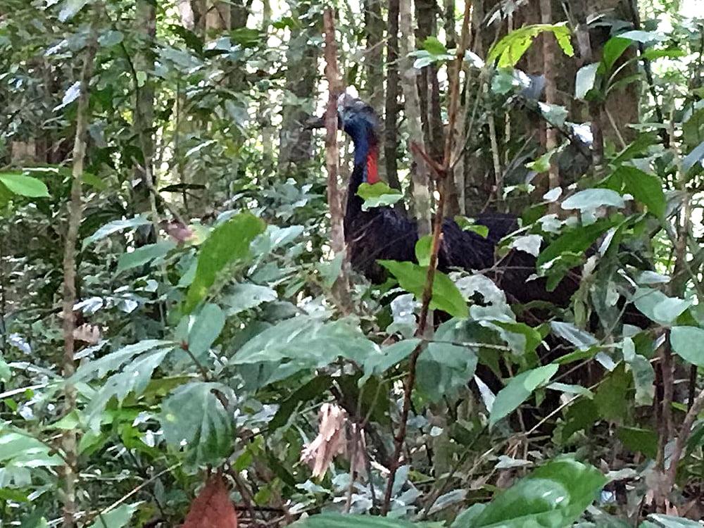 imagem da ave Cassowary na Viagem da Kika, diário de bordo Nº 8