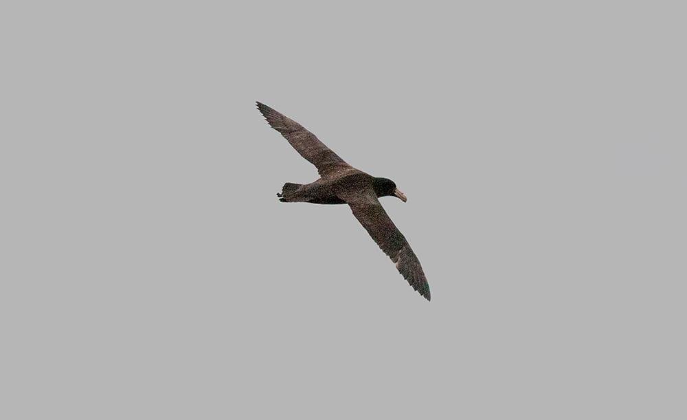 imagem de petrel gigante voando
