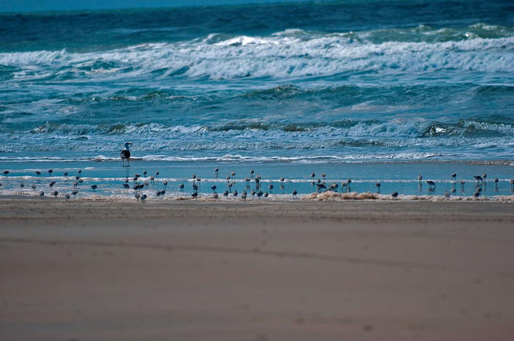 imagem de maçaricos em praia do rio grande do sul