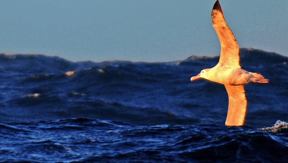 Imagem de albatroz voando sobre o mar