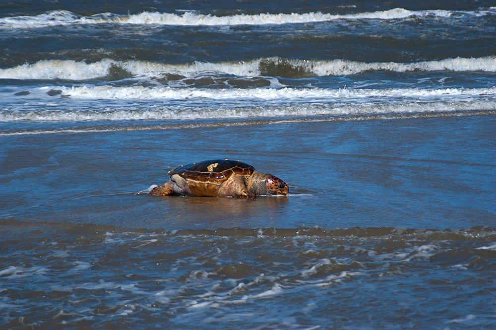 imagem de tartaruga morta na praia do Cassino, RS