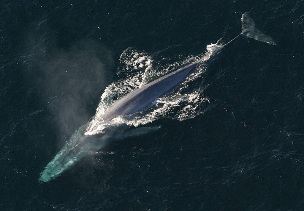 baleia azul, um dos animais marinhos ameaçados de extinção