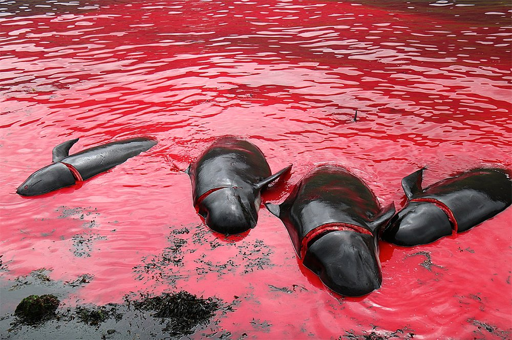 Imagem de matança de baleias pilotos