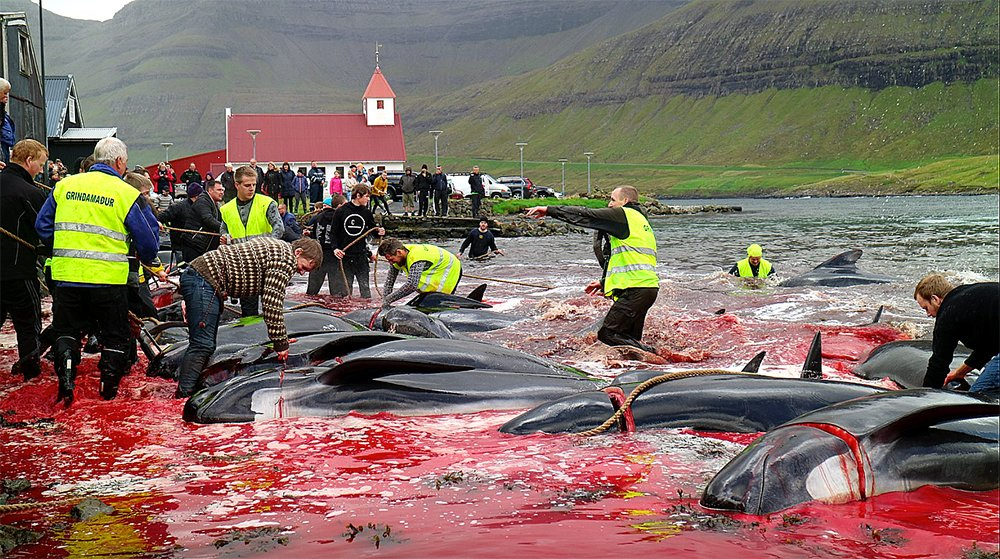 imagem de golfinhos e baleias: matança em ilhas da Dinamarca