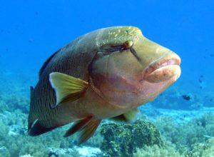 Napoleão, peixe ameaçado de extinção