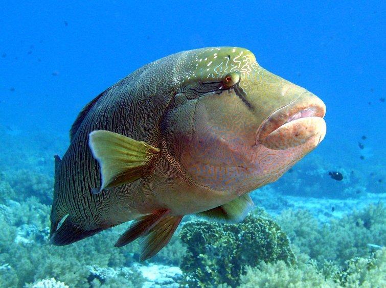 Napoleão, um dos Animais marinhos ameaçados de extinção