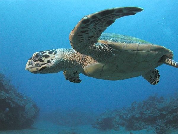 Tartaruga de pente, um dos Animais marinhos ameaçados de extinção