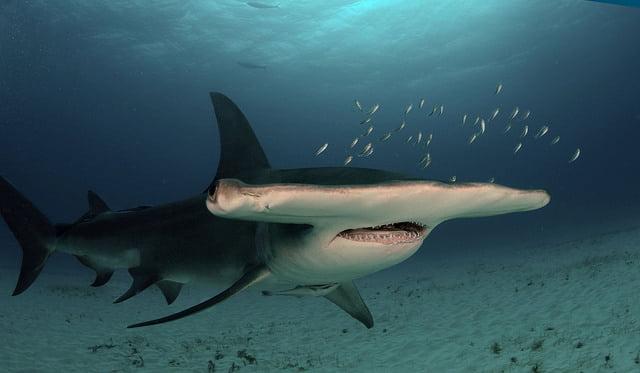 Tubarão martelo, um dos Animais marinhos ameaçados de extinção