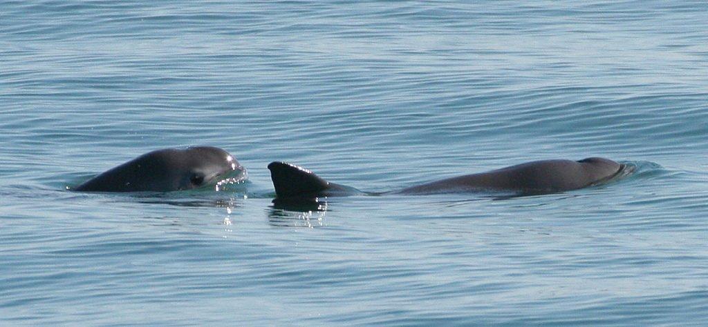 imagem da vaquita, um dos Animais marinhos ameaçados