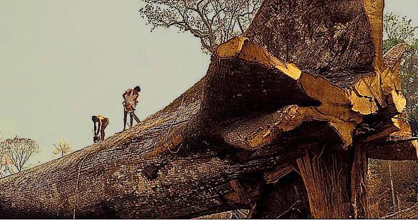 imagem de Samauma para post Exploração madeireira ilegal