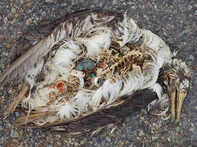 Imagem de estômago de albatroz cheio de plástico no atol de Midway