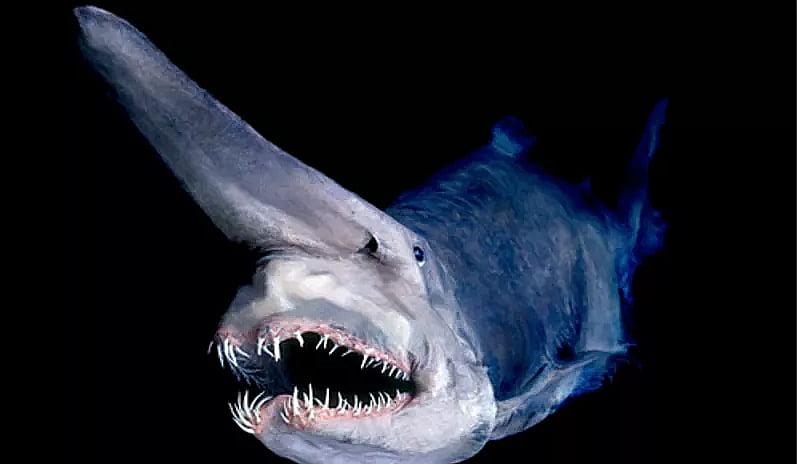 imagem do tubarão- goblin, habitante dos Oceanos, última grande área selvagem da Terra