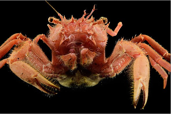 imagem de caranguejo das profundezas do arquipélago São Pedro e São Paulo