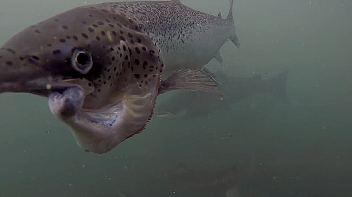 imagem de salmão deformado das fazendas de salmão do canadá