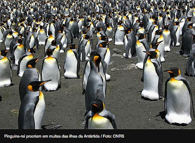 imagem de pinguins reis