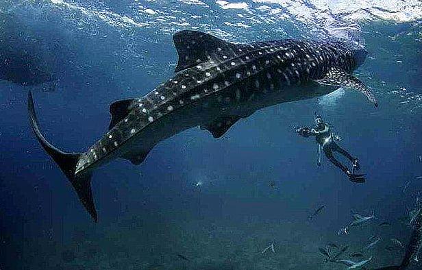 imagem de tubarão baleia
