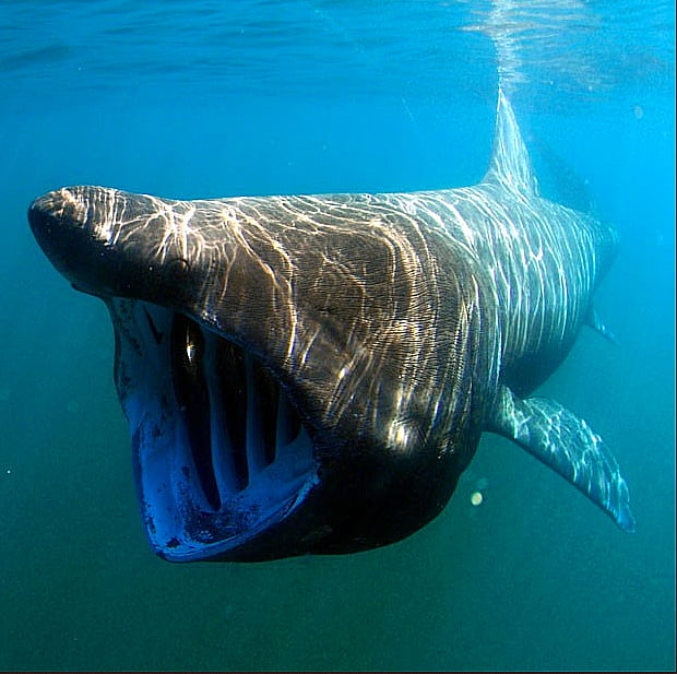 imagem de tubarão elefante