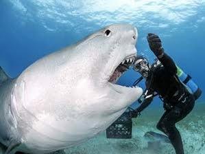 imagem de Tubarão tigre