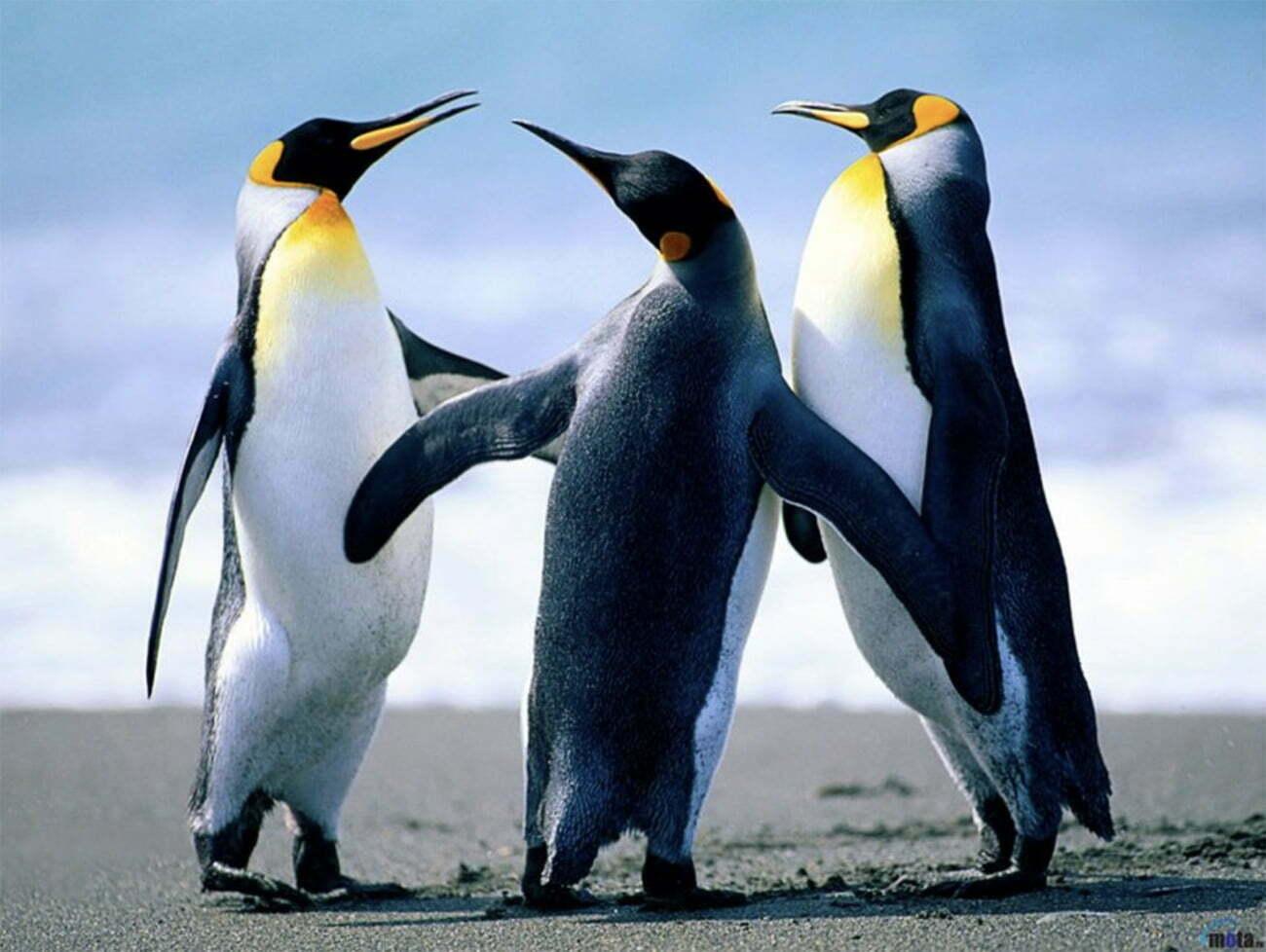 imagem de pinguim imperador