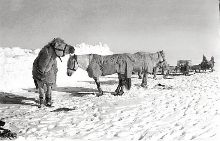 imagem de pôneis usados por Robert Scott na Antártica
