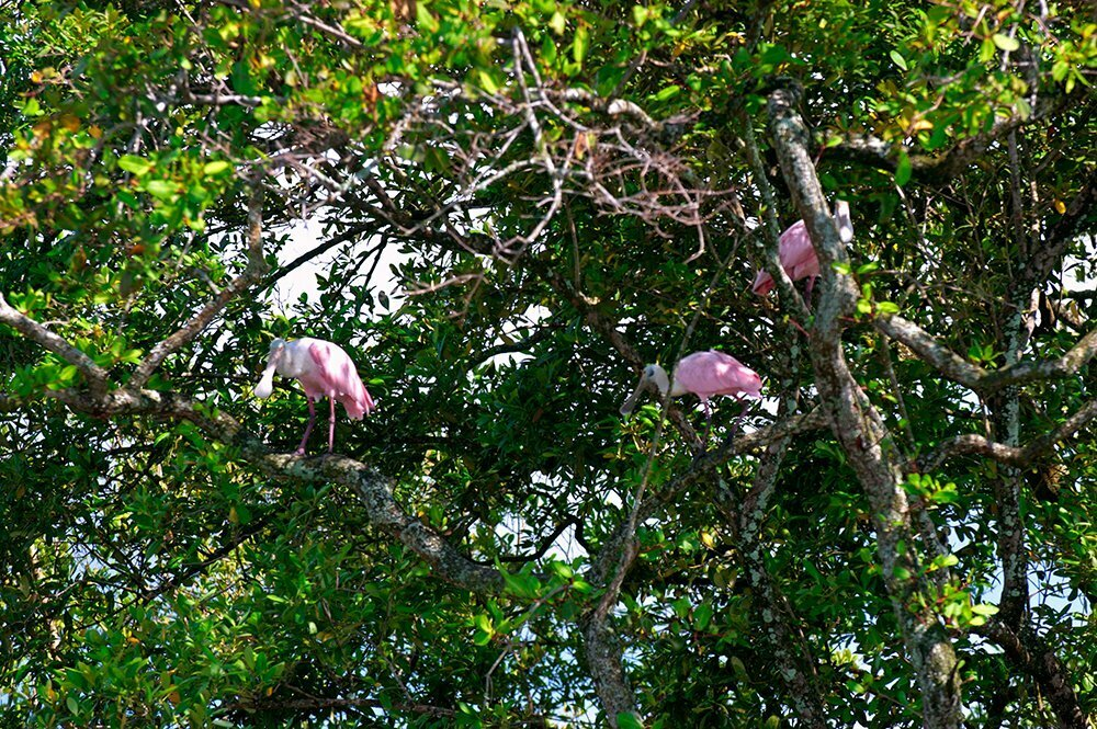 imagem de Colhereiros no mangue