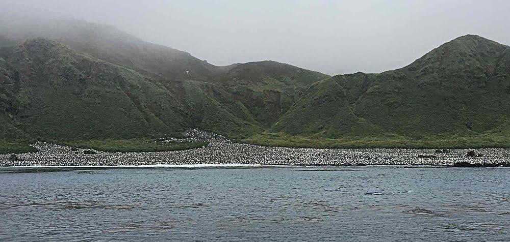 imagem de colônia de Pinguins rei