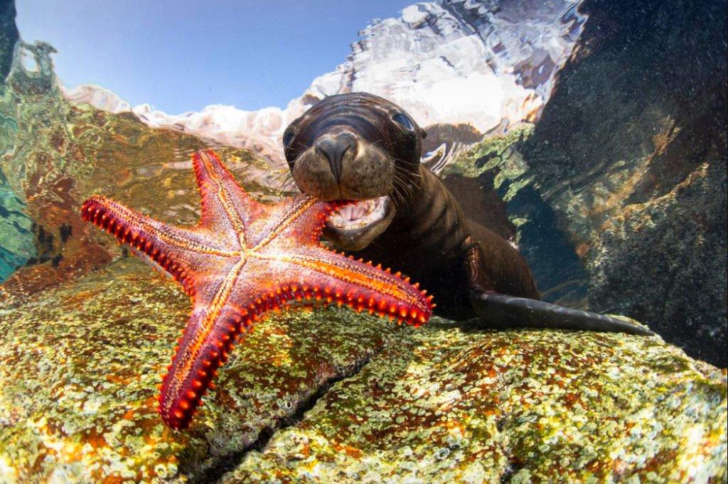 foto submarina de leão marinho e estrela do mar