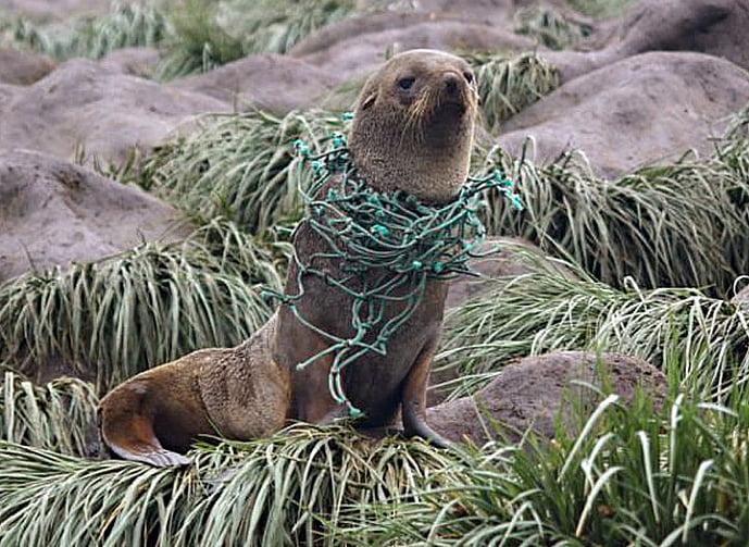 Imagem de foca com rede de pesca no pescoço, prova que Antártica, poluída por plástico