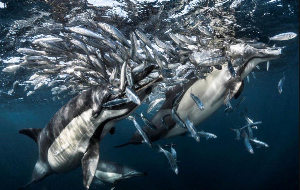 foto submarina de golfinhos comendo sardinhas
