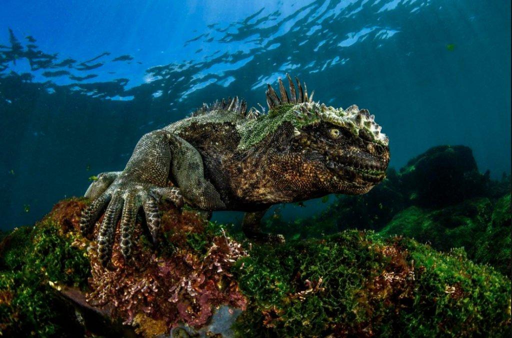 foto submarina de uma iguana